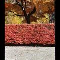 【歴史民俗博物館付近の紅葉】3