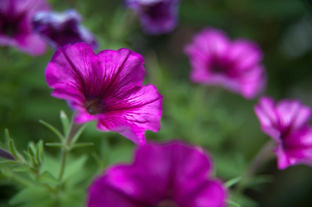 【庭の花・ペチュニア】2