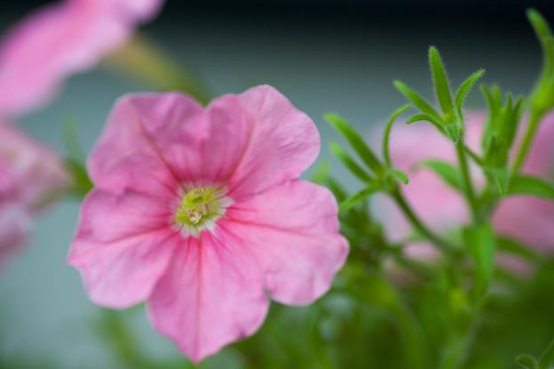 【庭の花・ペチュニア】