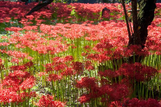 【巾着田の彼岸花】赤い絨毯5