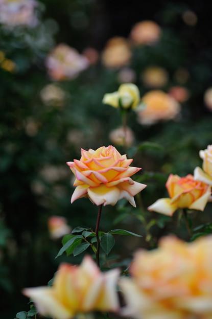 【花菜ガーデンの薔薇(モンテカルロ)】2