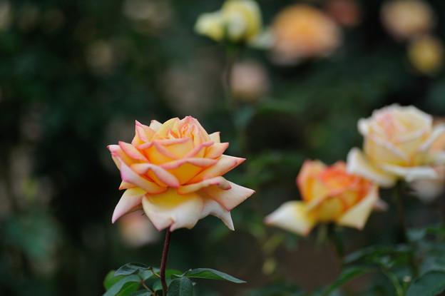 【花菜ガーデンの薔薇(モンテカルロ)】3