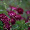 【花菜ガーデンの薔薇(バーガンディ・アイスバーグ)】3