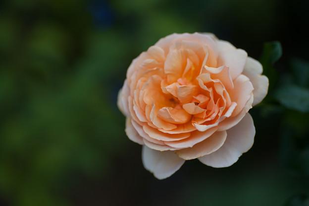 【花菜ガーデンの薔薇(アンゲリカ)】