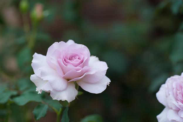【花菜ガーデンの薔薇(ニュー・ウェーブ)】