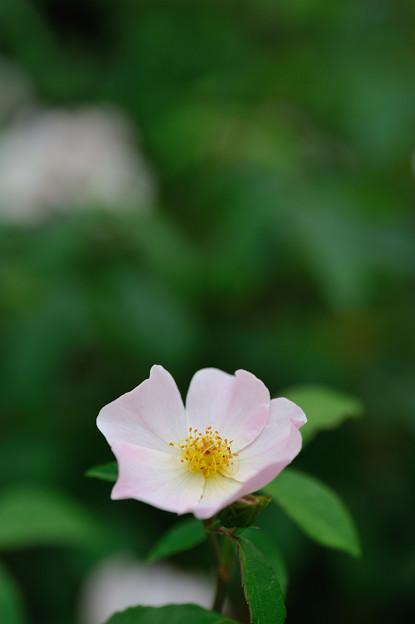 【花菜ガーデンの薔薇(小春日和)】
