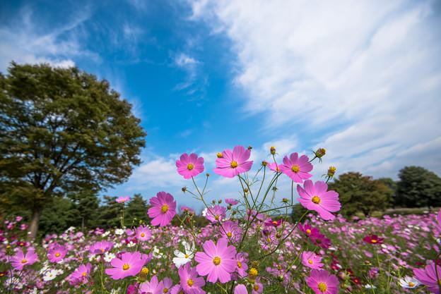 【昭和記念公園(花の丘)】青空にコスモス6