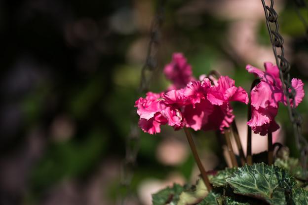 【庭の花:シクラメン】1