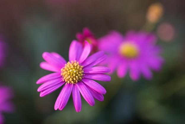 【庭の花:ブラキカム・チェリッシュ】2