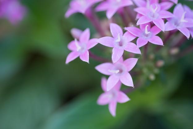 【庭の花:ペンタス】2