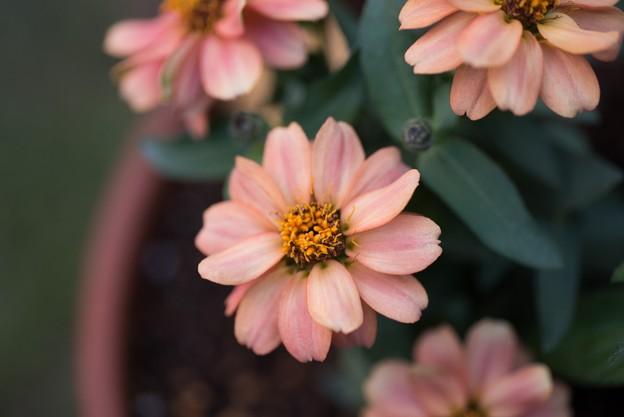 【庭の花:ジニア】1