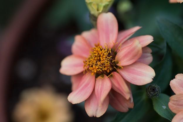 【庭の花:ジニア】2