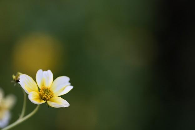 【庭の花:ウインター・コスモス】2