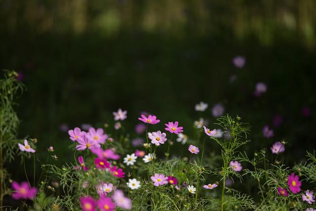 【昭和記念公園(花の丘「黒の背景」】4