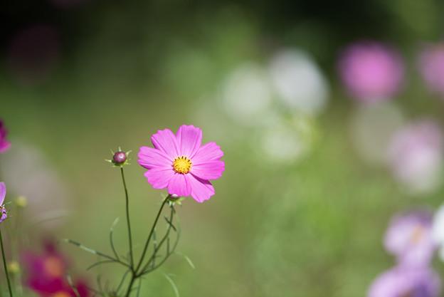【昭和記念公園(花の丘「緑の背景」】2