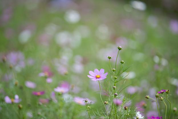【昭和記念公園(花の丘「緑の背景」】3