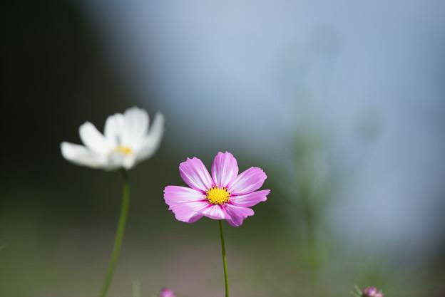 【昭和記念公園(花の丘「ピックアップ」】5