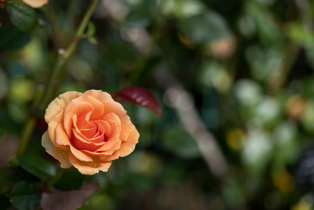 【花菜ガーデン(アシュラム)】1