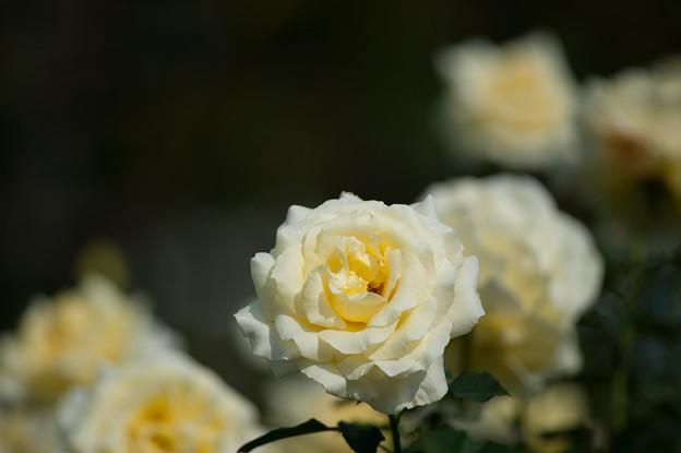 【生田緑地ばら苑(エリナ)】1
