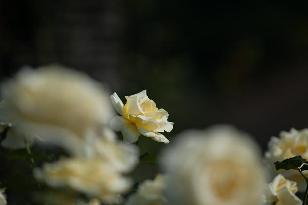 【生田緑地ばら苑(エリナ)】2