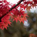 【昭和記念公園(日本庭園の紅葉ピックアップ)】3