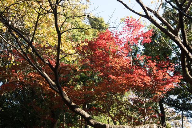 【近所の緑道(モミジ)】1