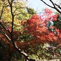 Photos: 【近所の緑道(モミジ)】1