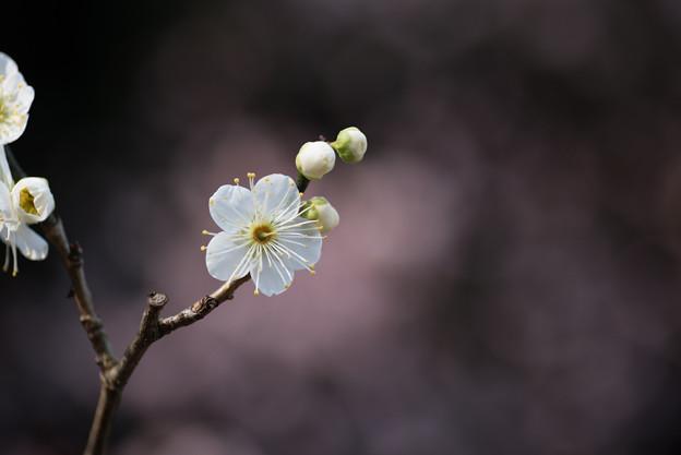 【大船植物園(月の桂)】4