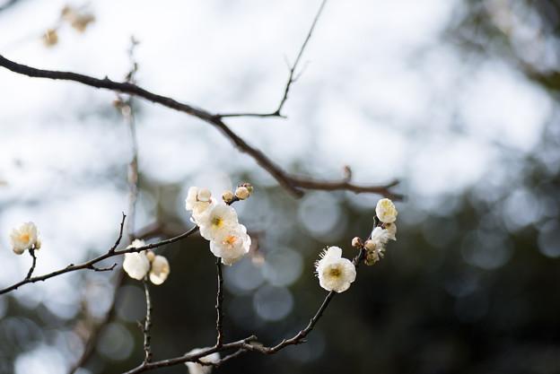 【大船植物園(八重茶青)】1