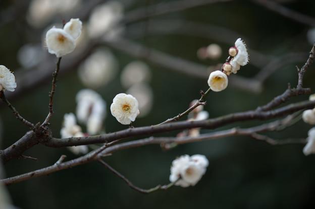 【大船植物園(八重茶青)】2