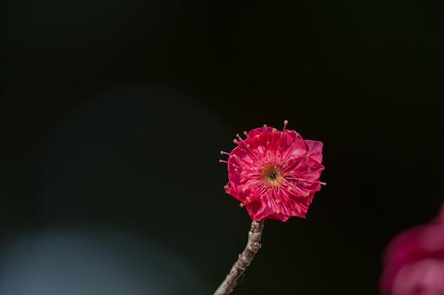 【大船植物園(鹿児島紅)】3