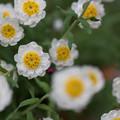 【庭の鉢植(花かんざし)】1