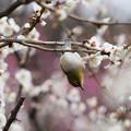 Photos: 【新宿御苑(梅とメジロ)】3