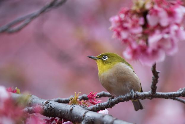【新宿御苑(寒桜とメジロ)】6