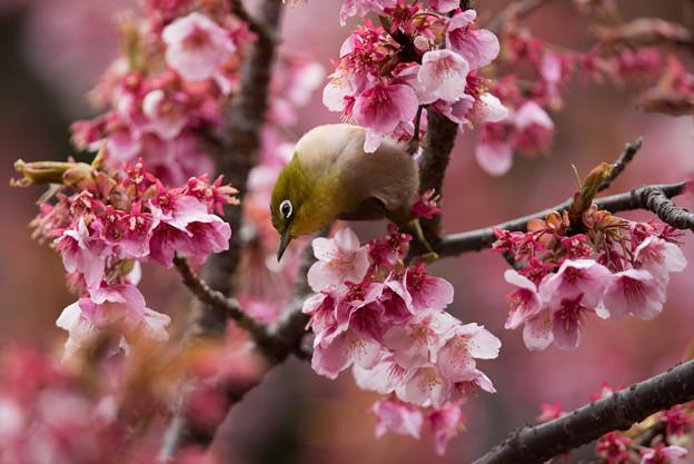 【新宿御苑(寒桜とメジロ)】9