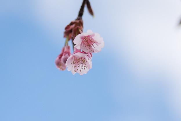 【皇居東御苑(琉球寒緋桜)】2