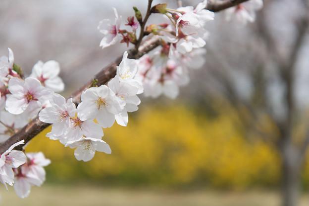 【花菜ガーデン(桜:染井吉野)】1