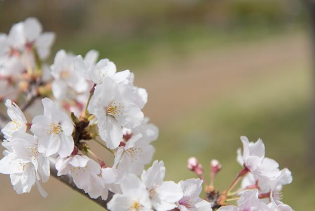 【花菜ガーデン(桜:染井吉野)】2