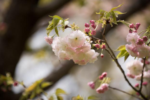 【昭和記念公園(里桜「松月~Syougetu)】2