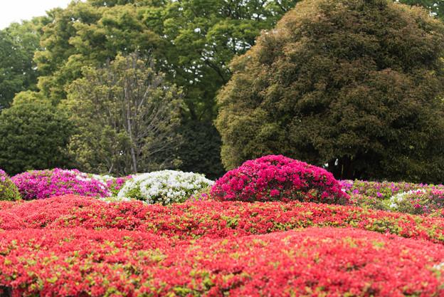 【神代植物公園(ツツジ)】6