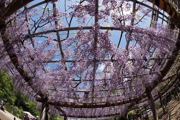 【薬師池公園(藤の花)】5