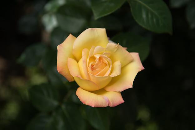 【花菜ガーデン(ピース)】3