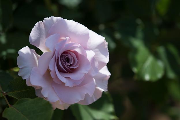 【花菜ガーデン(ニュー・ウェーブ)】2