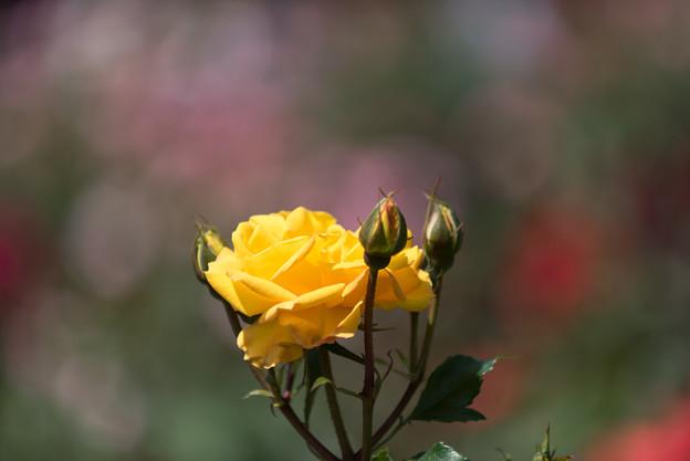 【花菜ガーデン(ゴールドマリー'84)】2
