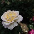 【花菜ガーデン(ガーデン・パーティ)】