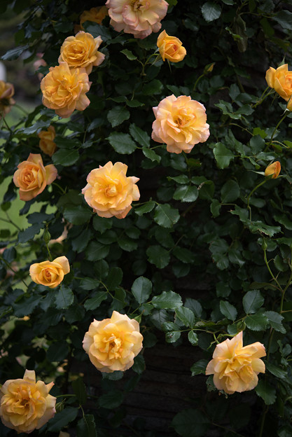 【生田緑地ばら苑(サハラ'98)】2
