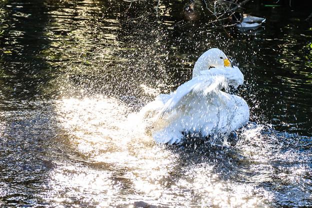 白鳥の水浴び