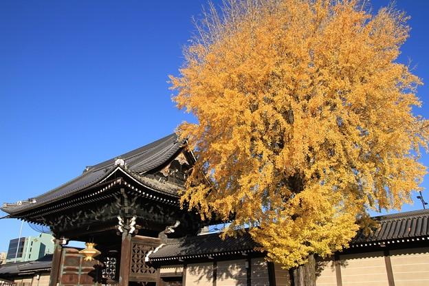 IMG_4731銀杏と御影堂門(重要文化財)