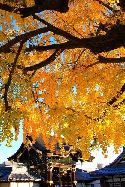 IMG_4815銀杏と阿弥陀門(重要文化財)