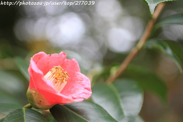 IMG_5922北野天満宮・椿